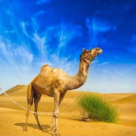 e-liquide gout camel